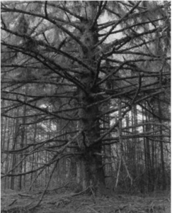 Old tree with very long branches