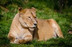 Longing, A Lion