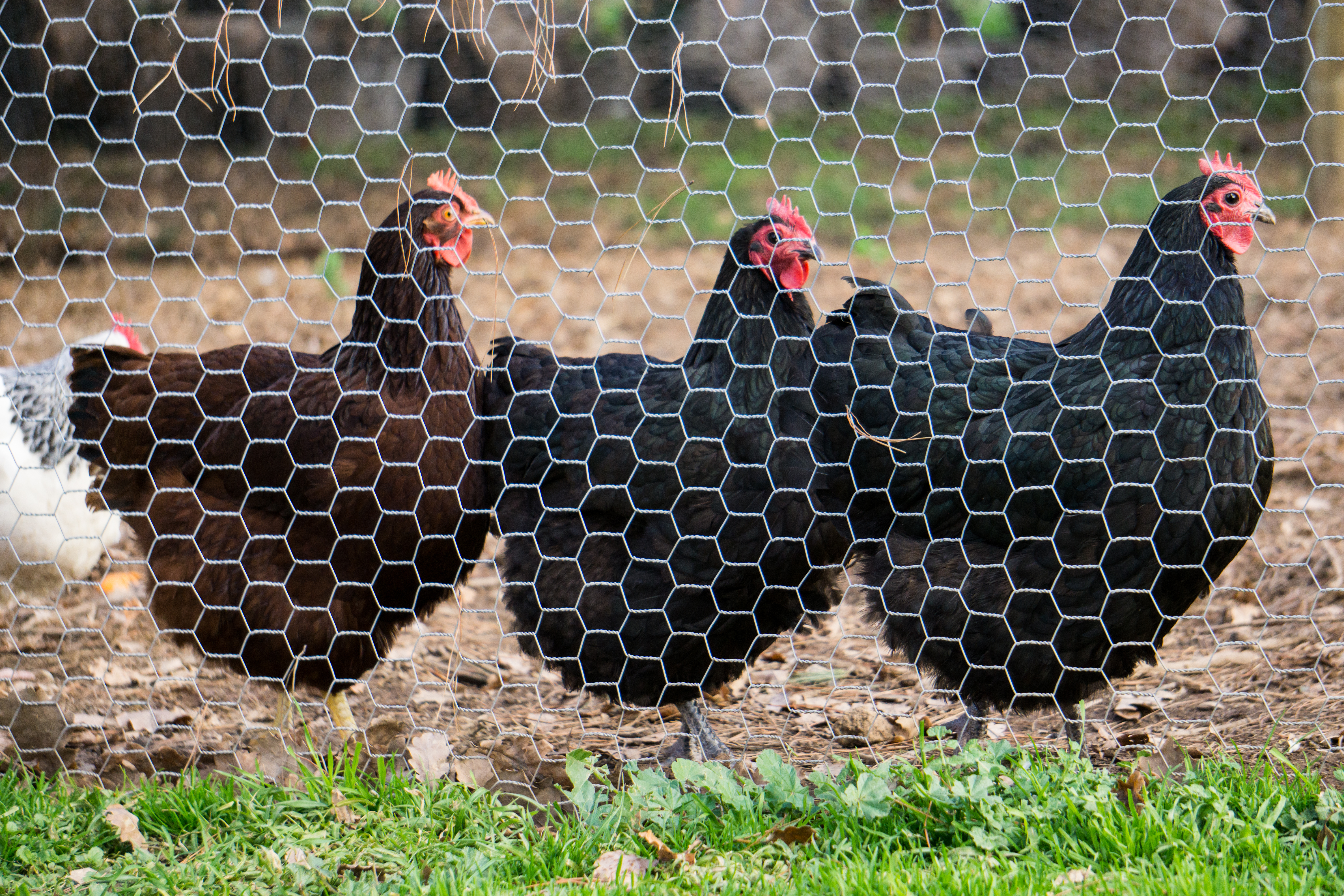 Three black hens standing in a row behind a wire fence