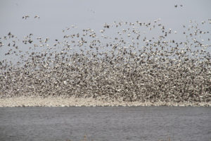 Image of snow geese from a distance