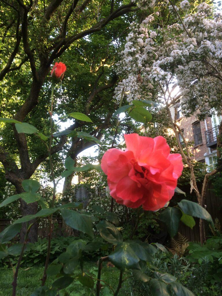 Licille rose