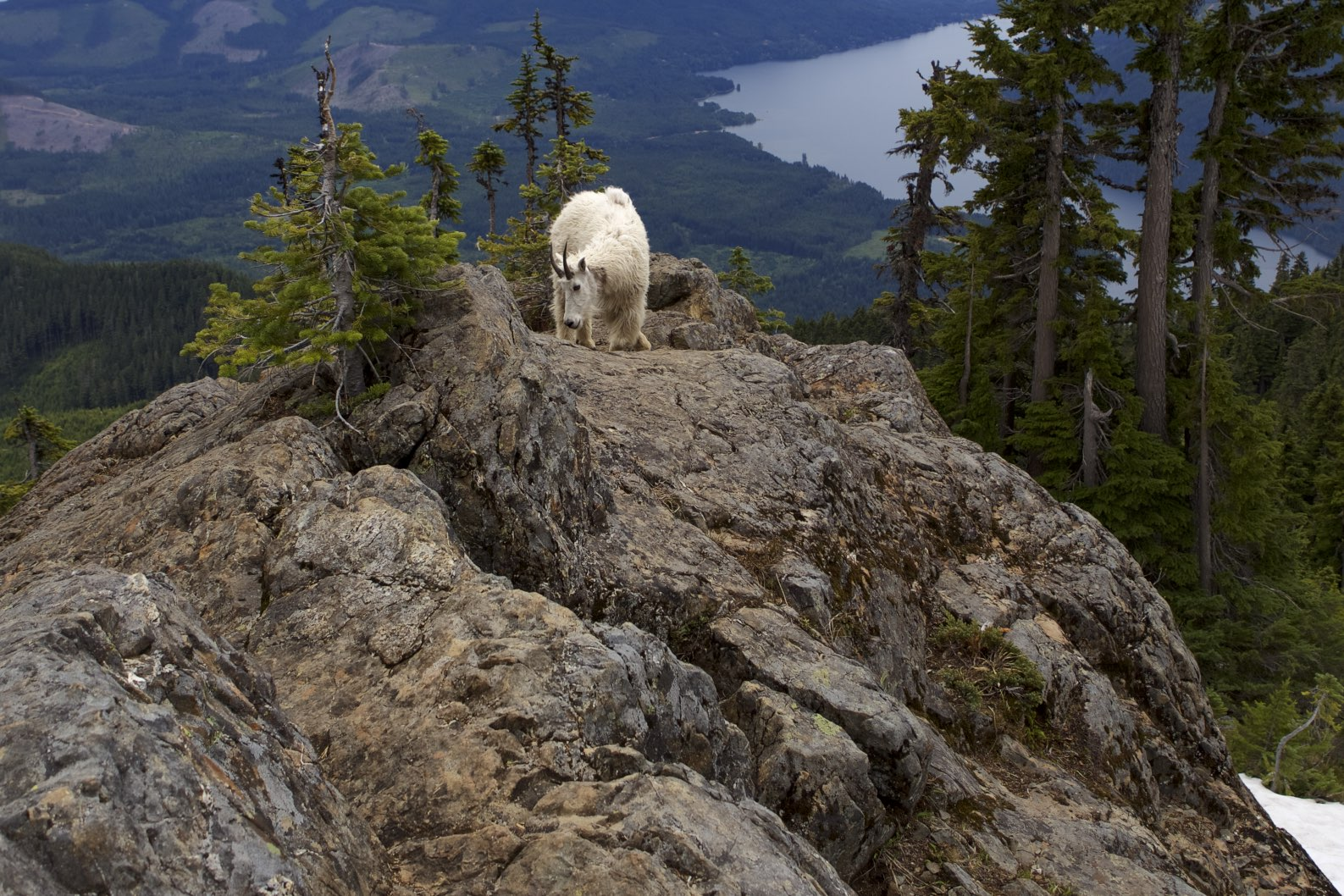 Image of a goat on a cliff.