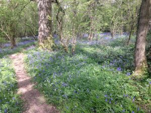 Image of bluebells blooming in a forest.