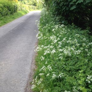 Image of Queen Ann's lace growing by the roadside.