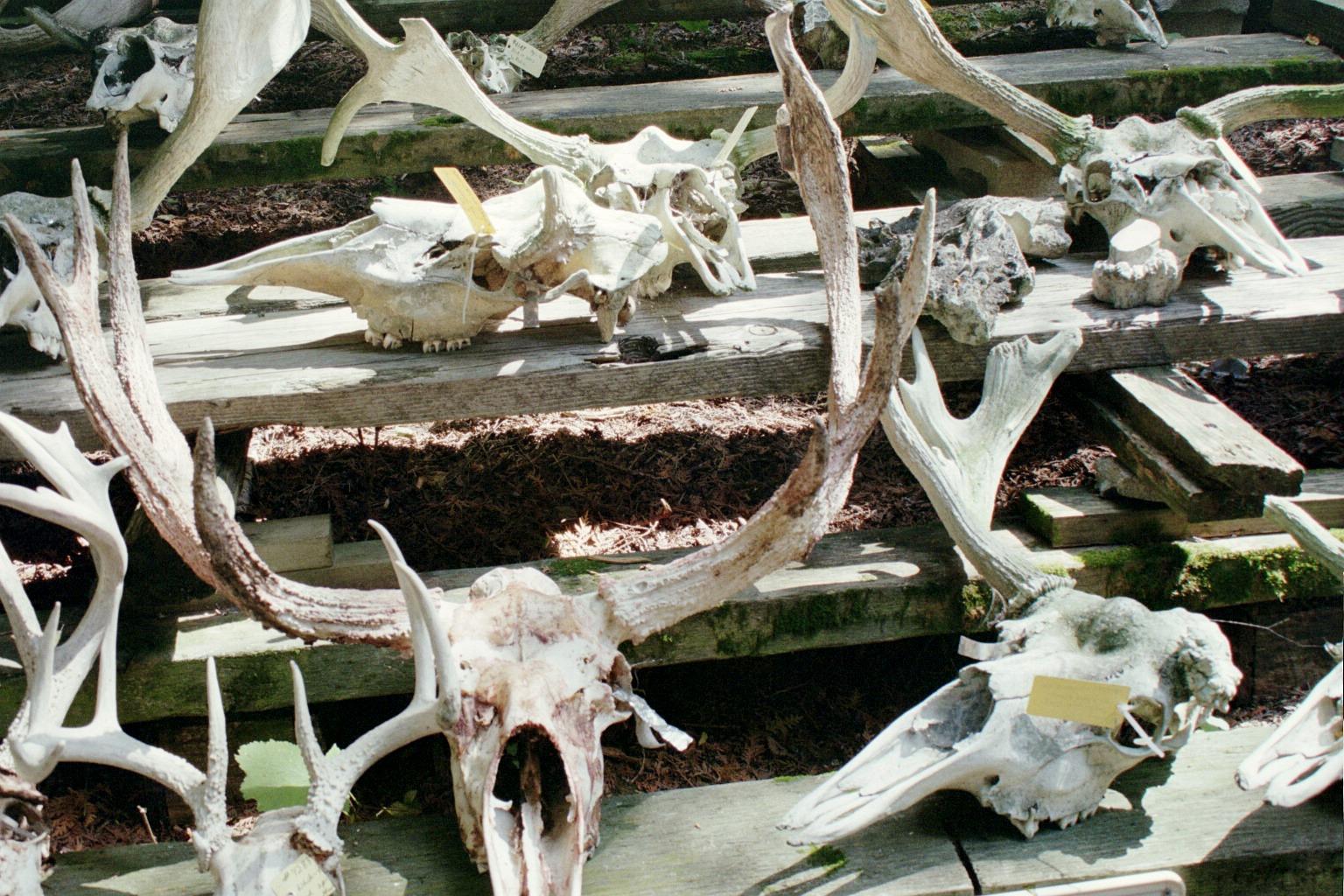 Image of moose skulls.