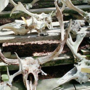 Images of animal skulls.