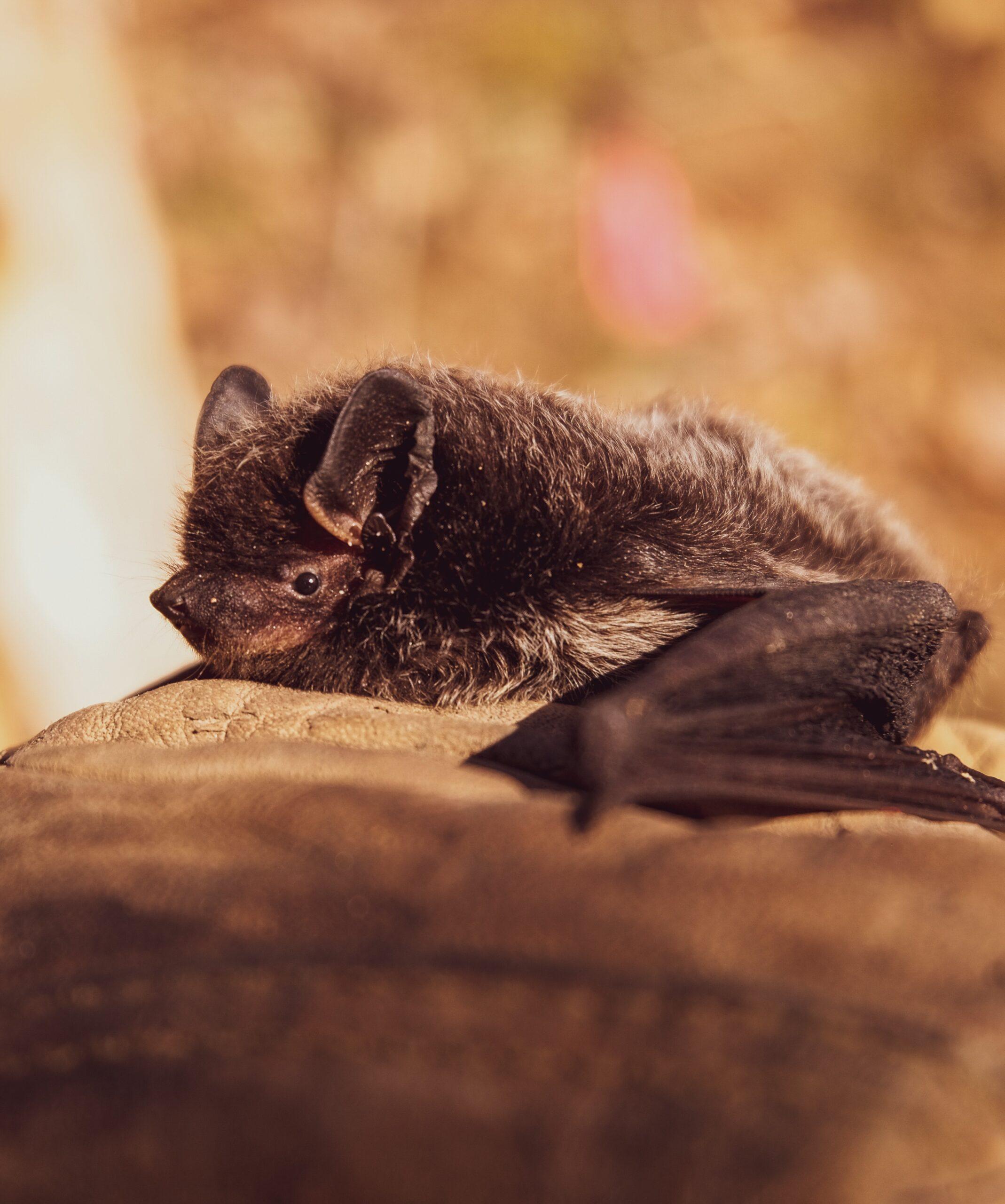 Bat Season in Austin