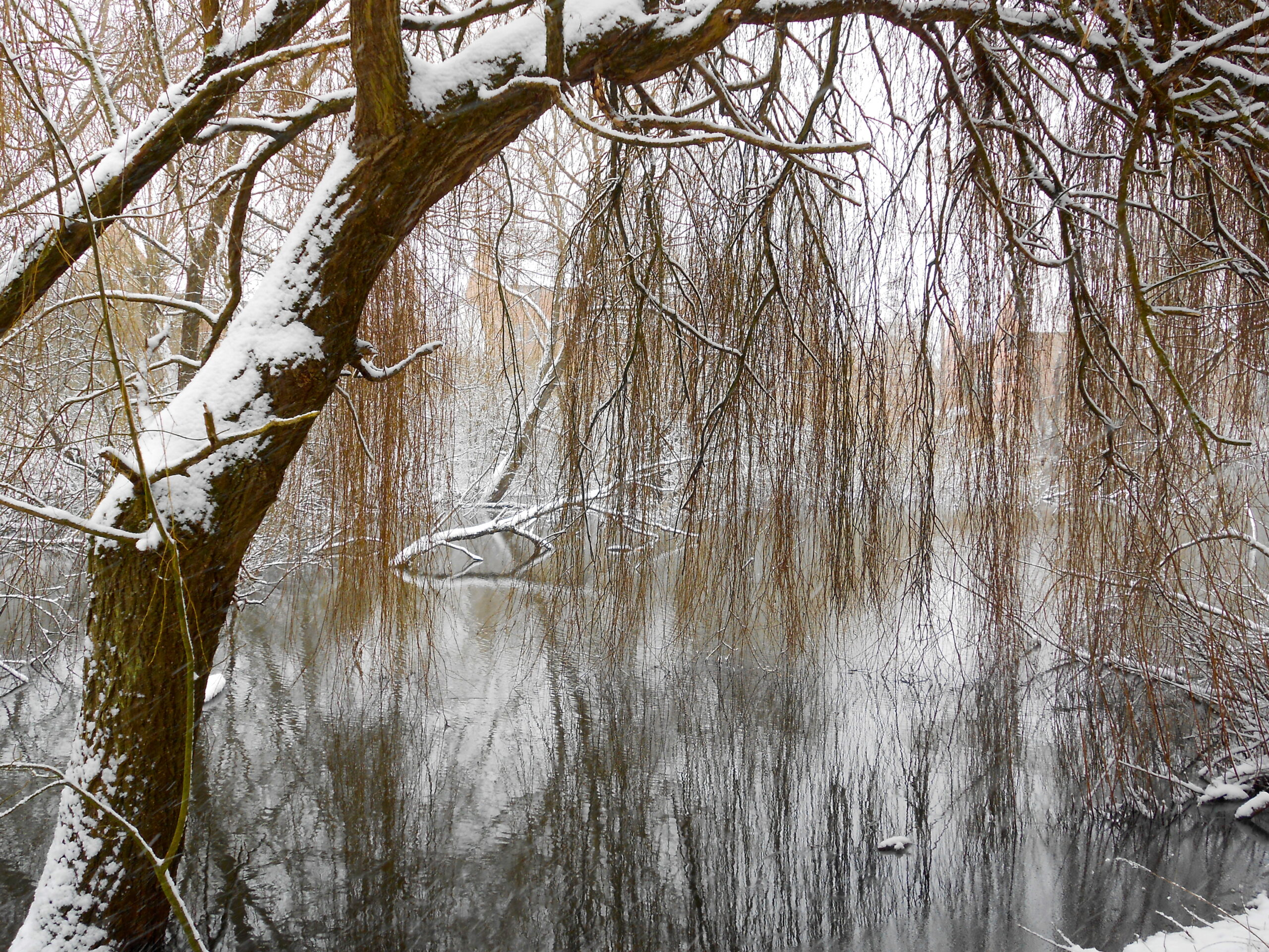 Image of a weeping willow over a lake covered lightly with snow.